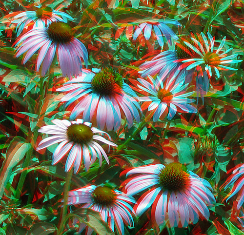 flowers stereoscopic stereophoto coneflowers scenic anaglyph iowa anaglyphs moorhead redcyan 3dimages 3dphoto 3dphotos 3dpictures stereopicture