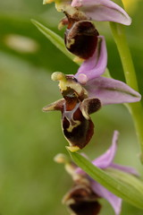 eye(0.0), flower(1.0), ophrys insectifera(1.0), plant(1.0), macro photography(1.0), flora(1.0), close-up(1.0), plant stem(1.0), ophrys(1.0),