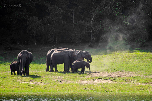 Elephants @ Thekkady
