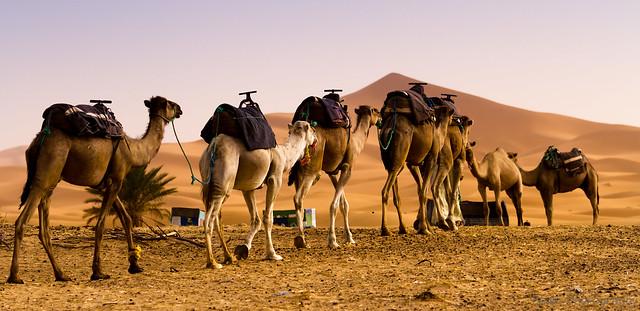 Model Camel Caravan Camelcaravandesert