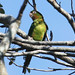 Cuban Parakeet (Steve Wakeham)