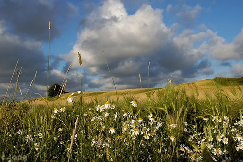 flowers summer fleurs landscape denmark champs fields paysage danemark eté