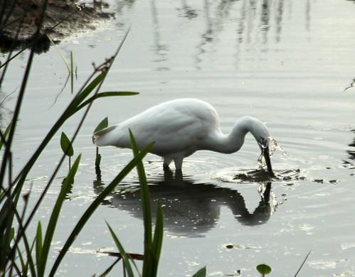Egret 9305