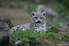 A regal snow leopard cub