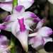 Small photo of Aerides lawrenciae