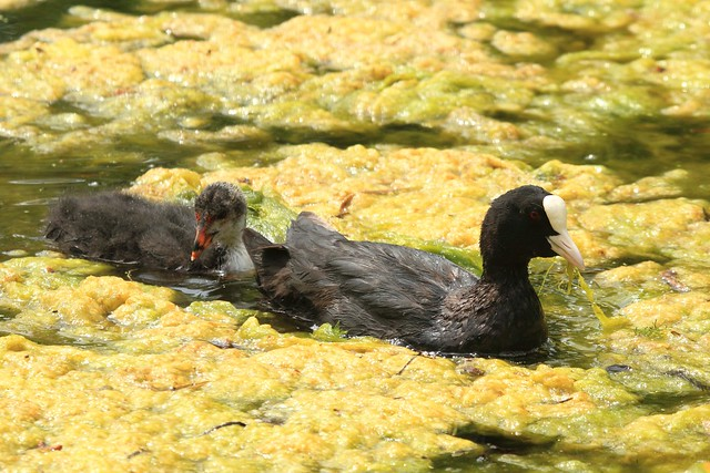 Coot and chick removing the weed on the Lily Pond at Kew Gardens