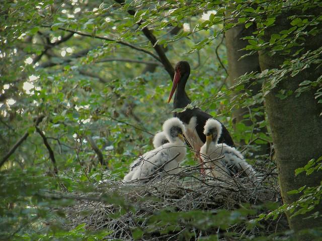 Black Stork (Ciconia nigra), Eastern Ardennes, Belgium