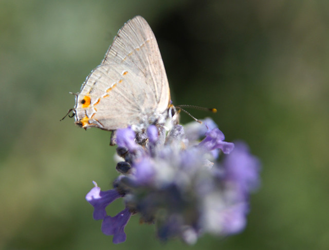 Hairstreak 201107-af