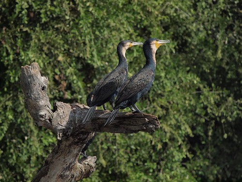 Cormorants at Murchison Falls NP, Uganda
