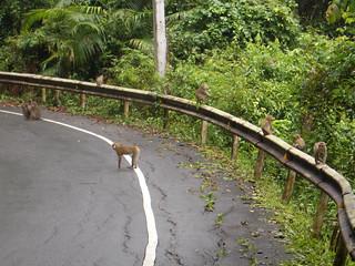 Macaques - nicht gefährlich!