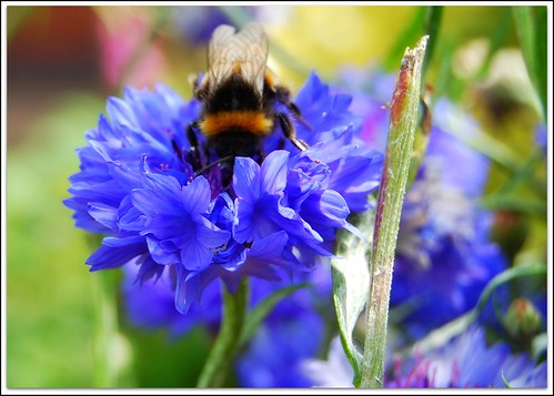 bee bumbling in blue flower