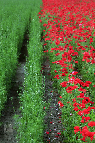 red green field angel oregon landscape ian photography farm images mount poppies half land modification genetic agricultural method sane the merging of organicandgmofreeworld