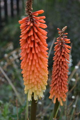 KNIPHOFIA 'Painted Lady'