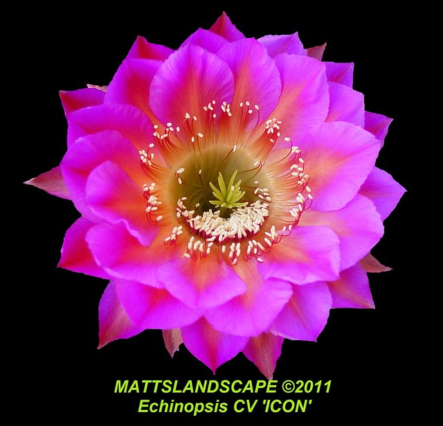 ICON Echinopsis CV (close up)