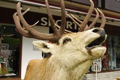 antler, deer, wood, horn, reindeer,