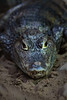 "<a href=""http://www.flickr.com/photos/downhilldom1984/5994850299/"">Photo of Caiman yacare by Dominik Bartsch</a>"