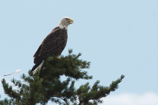 Beacon Shores 2011:  Bald Eagle in the Tree