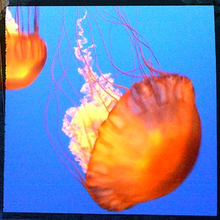 Jellies at the Monterey Bay Aquarium