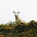 Sheep on the Panorama, Llangollen.