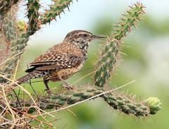 ortolan bunting(0.0), emberizidae(0.0), shorebird(0.0), snipe(0.0), wren(1.0), animal(1.0), sparrow(1.0), perching bird(1.0), branch(1.0), fauna(1.0), bird(1.0), lark(1.0), wildlife(1.0),
