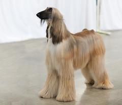 dog sports, dog breed, animal, dog, pet, carnivoran, afghan hound,