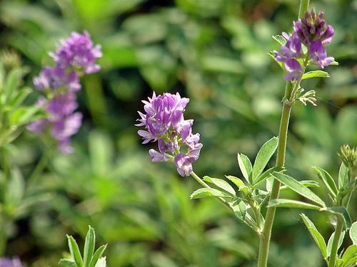 florcitas de alfalfa