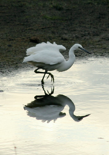Little Egret 9275