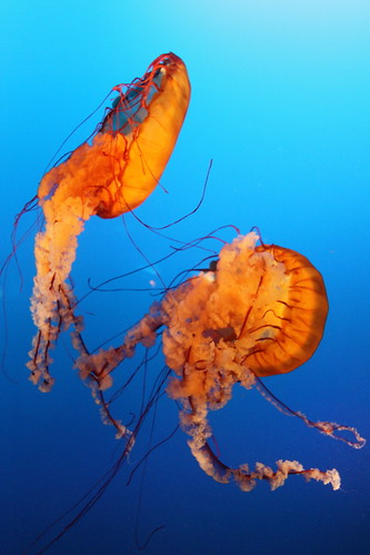Sea nettles with backlighting
