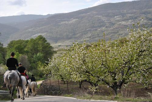 A caballo entre cerezos