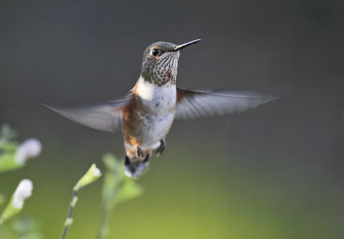 Rufous Hummingbird (Selasphorus rufus) Checking Out The Photographer
