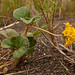Small photo of Sand verbena (Abronia latifolia)
