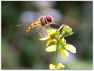 Hoverfly on agrimony!