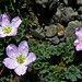 Ashy Crane's-bill, Geranium cinereum (Mark Galliott)