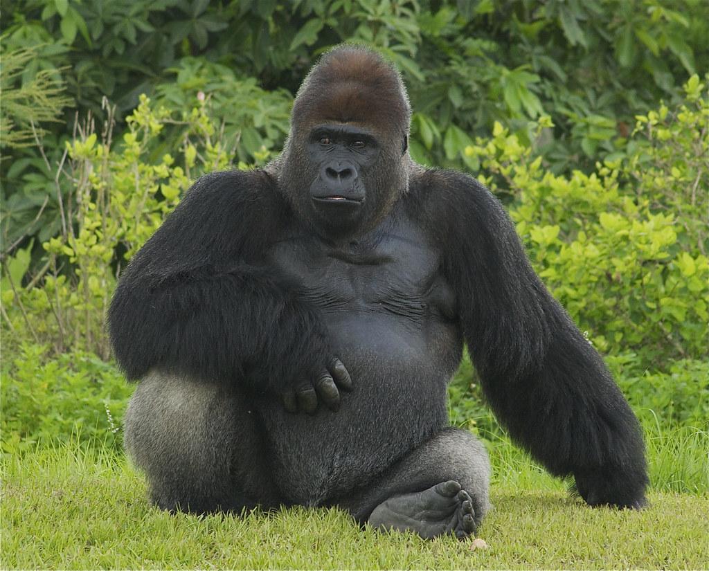 Картинки по запросу горилла фото