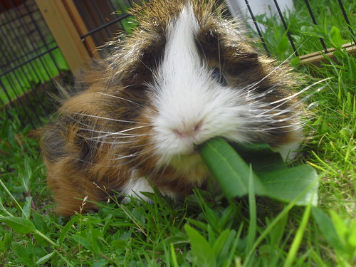 Yum yum yum leaves! by Boris - guinea-pig