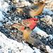 Pine Grosbeaks (Jennifer Horn)