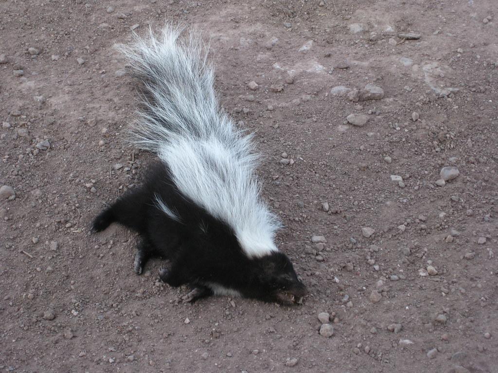 skunks family mephitidae inaturalist org