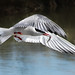 Common Tern (Sterna hirundo) by dbullens