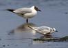 Little Gull (Larus minutus) by Mark Carmody