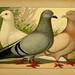 Illustriertes Prachtwerk sämtlicher Taubenrassen