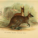 A hand-book to the marsupialia and monotremata