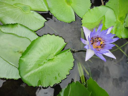 Thailand Bangkok 1 water lily