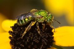 Agapostemon, Jade Bee, on Rudbeckia triloba