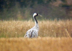 Common Crane, Ladybridge