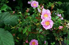 garden roses(0.0), floribunda(0.0), rosa canina(0.0), rosa acicularis(0.0), shrub(1.0), flower(1.0), rosa gallica(1.0), rosa rubiginosa(1.0), flora(1.0), rosa rugosa(1.0), petal(1.0),
