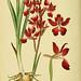 Abbildungen der in Deutschland und den angrenzenden gebieten vorkommenden grundformen der orchideenarten