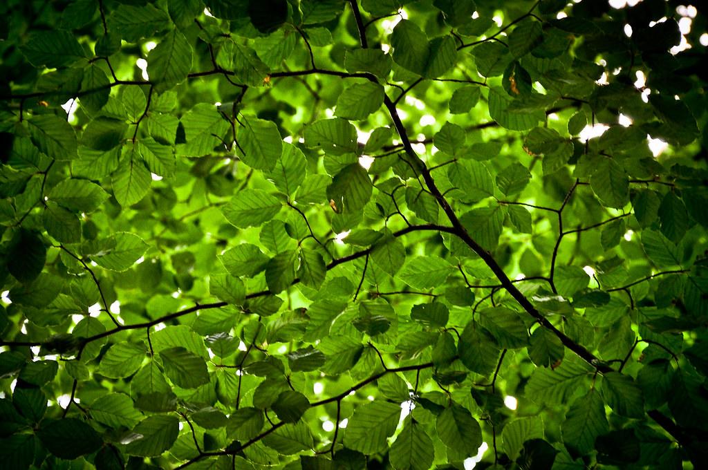 Foliaceous canopy....