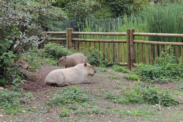 capybaras capybaras zoo parc de thoiry france by elpadawan flickr photo sharing. Black Bedroom Furniture Sets. Home Design Ideas