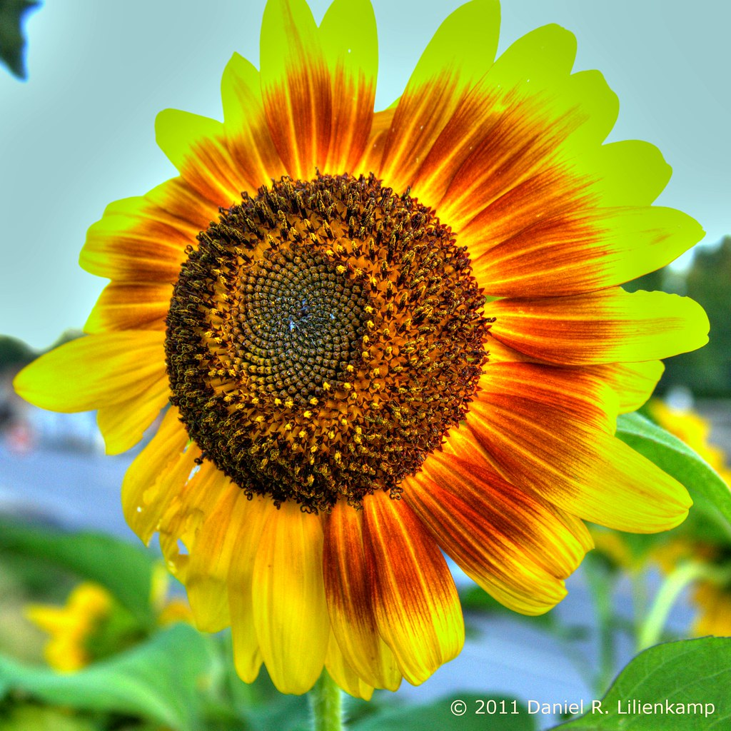 Extreme Sunflower