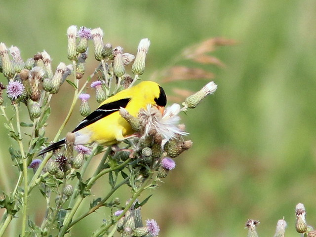 American Goldfinch and thistles 20110707